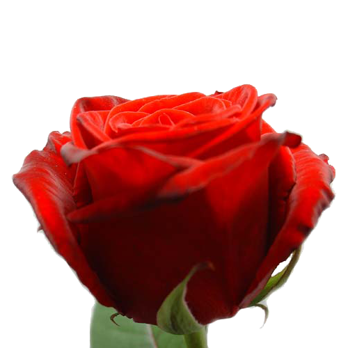Lange rode rozen voor Valentijn